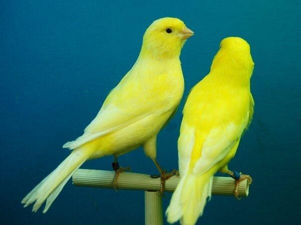 Canaritos amarillos